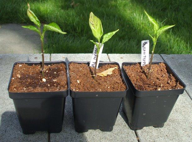Почему у рассады перца опадают листья