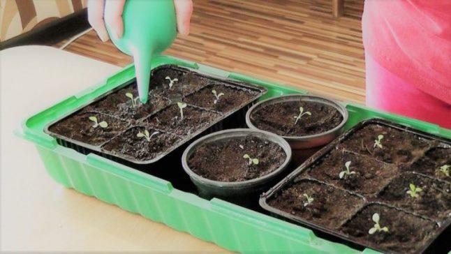 Как часто нужно поливать рассаду петунии?