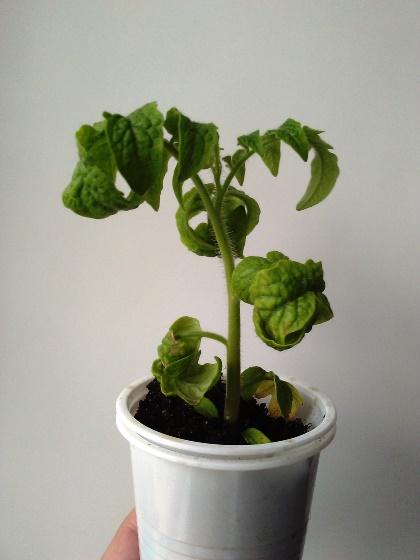 Причины: почему у рассады помидоров могут скручиваться листья