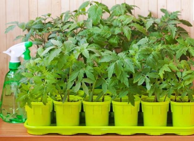 Условия выращивания рассады помидоров