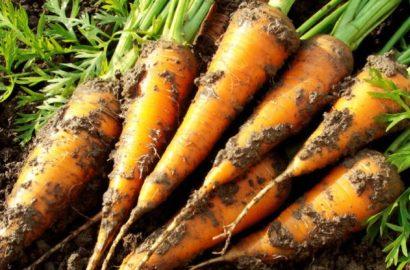 Сроки посадки моркови в Подмосковье