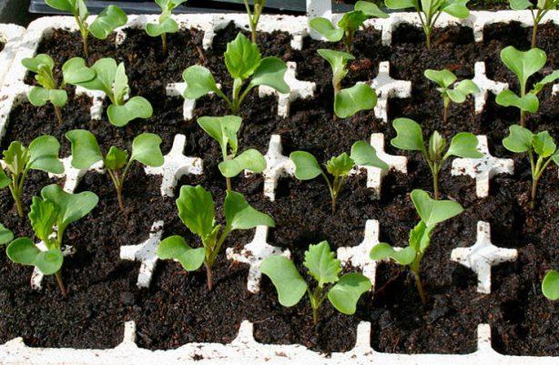 Выращивание рассады капусты пошагово