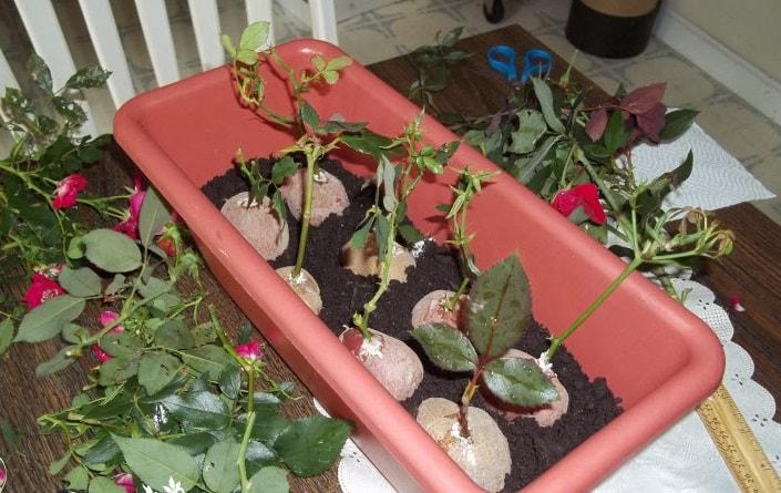 розы в картошке в ящике