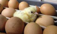 Как вывести цыплят в инкубаторе в домашних условиях