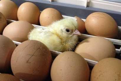 Температура выведения цыплят в инкубаторе – таблица