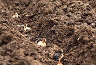 Правильная посадка лука севком весной. Сроки и технология посадки