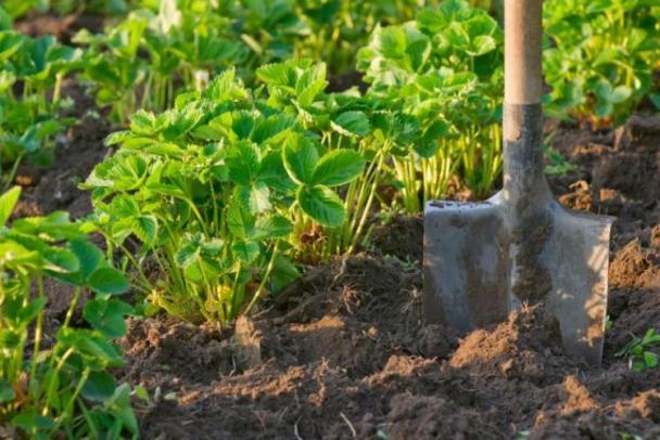 Частые ошибки садоводов по уходу за клубникой весной