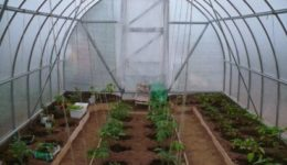 Когда высаживать помидоры в теплицу из поликарбоната в Подмосковье, На Урале, Сибири