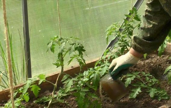 Для чего подкармливать помидоры после высадки