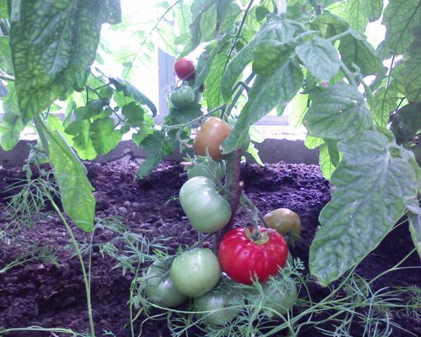 Как правильно поливать помидоры после высадки