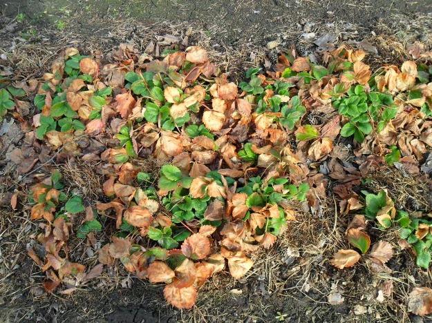 Уход за клубникой весной после зимы