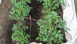 Посадка помидор в открытый грунт рассадой в мае по лунному календарю