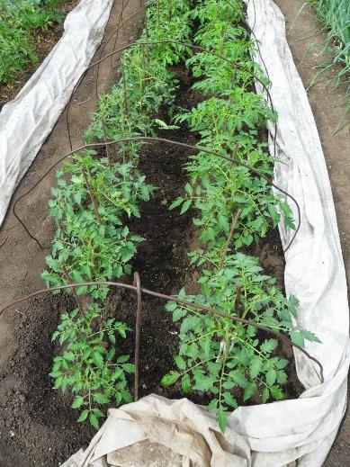 Уход за высаженной рассадой