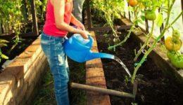 Как поливать помидоры в теплице из поликарбоната после высадки рассады