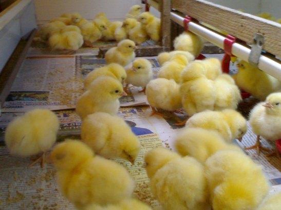 Как вырастить цыплят с нуля