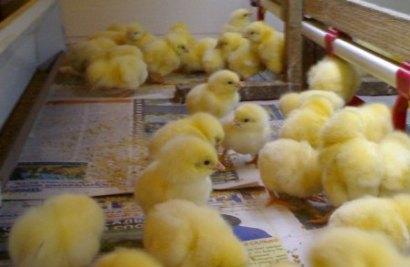 Выращивание цыплят в домашних условиях с нуля, с чего начать