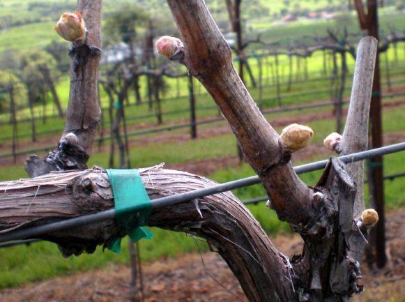 Чем обрабатывать виноград ранней весной