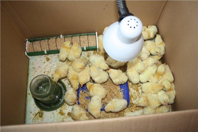 В каком корме нуждаются недельные цыплята