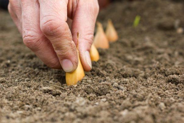 Когда сажать лук-севок, сроки посадки