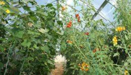 Как посадить помидоры и огурцы в одной теплице, можно ли сажать