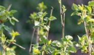 Обработка малины весной от болезней и вредителей ранней весной, видео