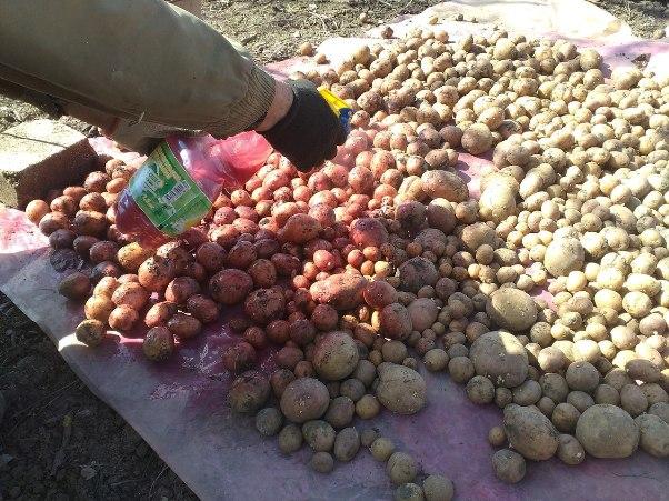 Для чего обрабатывать картофель перед посадкой
