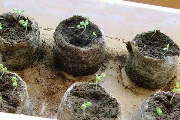 Посев петунии на рассаду