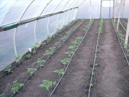 Как правильно высаживать помидоры в теплицу