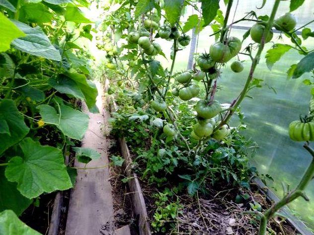 Как правильно посадить помидоры и огурцы в одну теплицу