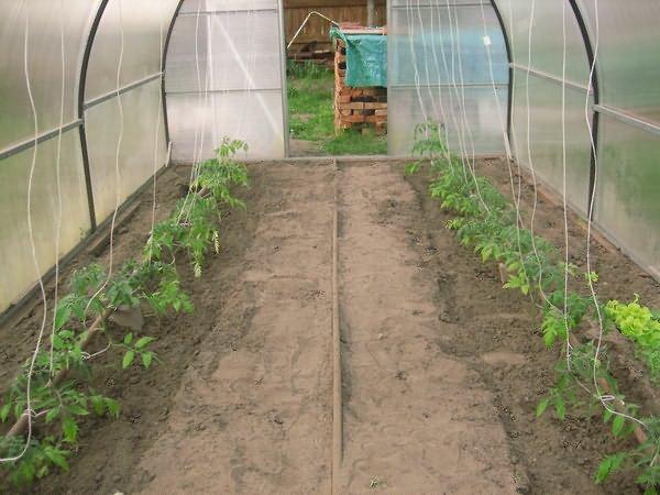 Когда высаживать помидоры в теплицу по регионам