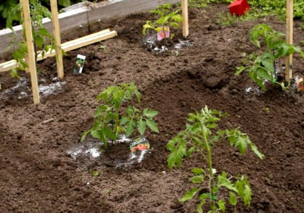 Как правильно подкормить помидоры, чтобы быстро росли