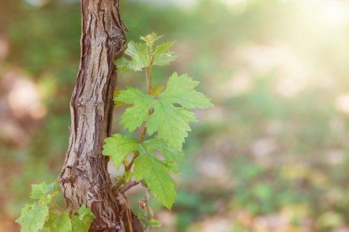 Когда обрабатывать виноград ранней весной