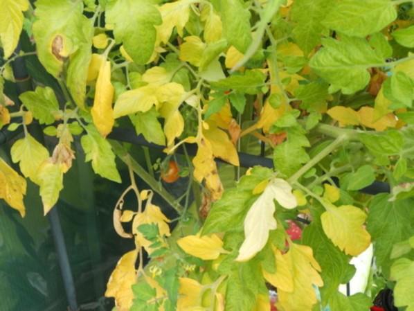 Что делать, как помочь рассаде помидоров