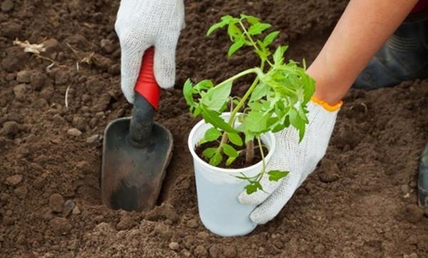 Когда высаживать помидоры по лунному календарю на 2018 год