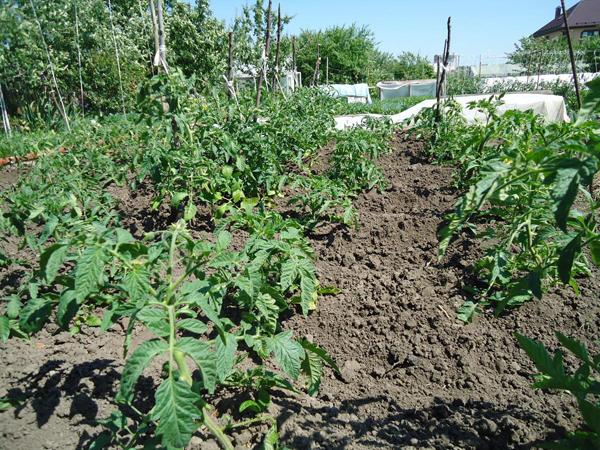 Особенности выращивания помидоров в открытом грунте