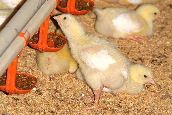 Условия содержания цыплят бройлеров