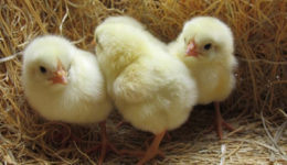 Цыплята бройлеры – выращивание в домашних условиях. Правильное кормление