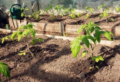 Когда можно высаживать томаты в теплицу