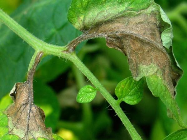Признаки заболевания на помидорах