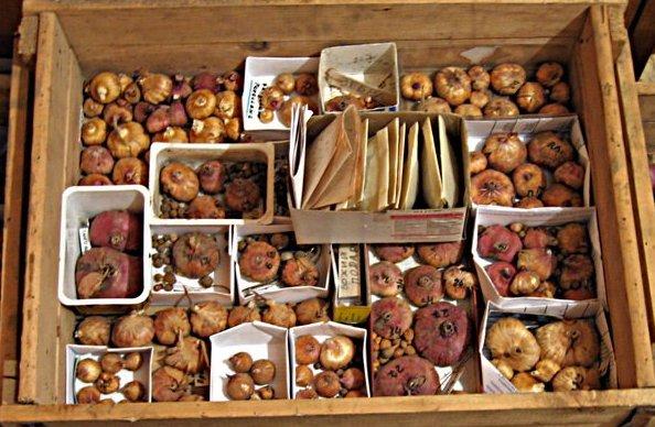 Как правильно хранить луковицы зимой
