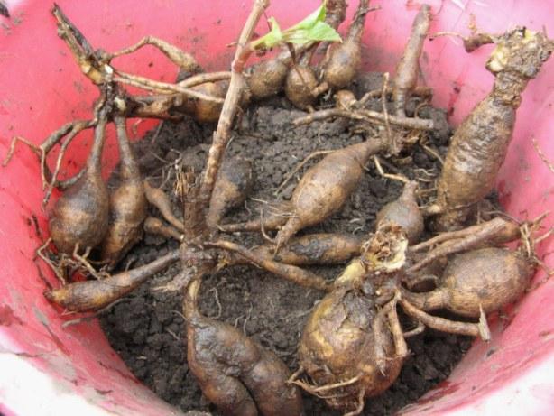 Почему надо выкапывать луковицы георгинов осенью
