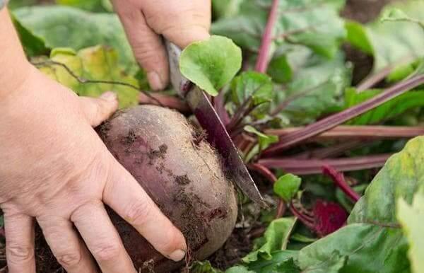 Как правильно убрать морковь и свеклу с грядок на зиму