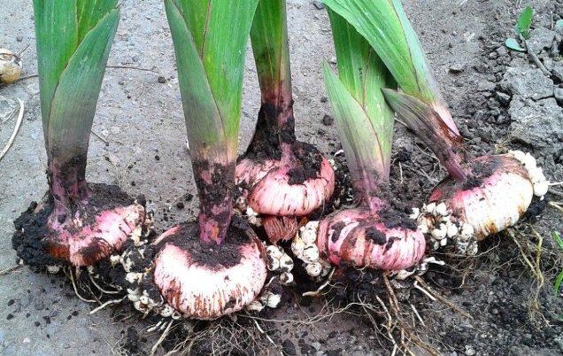 Почему нужно выкапывать луковицы гладиолусов осенью
