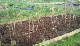 Посадка малины осенью: как правильно
