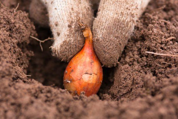 Как правильно посадить осенью лук на репку