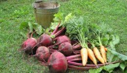 Когда выкапывать свеклу и морковь на хранение и как хранить