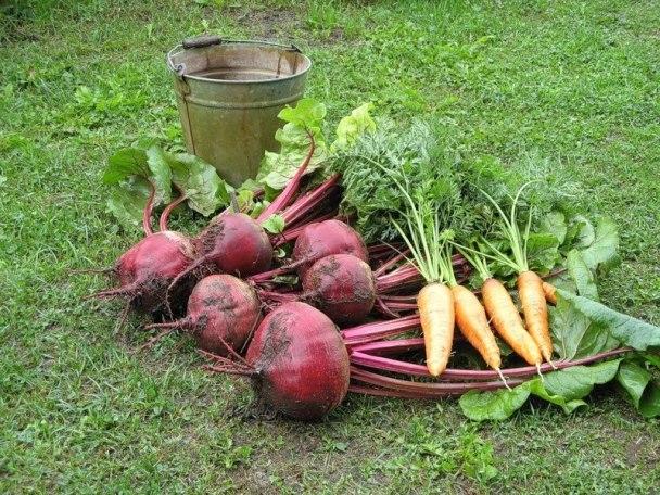 Когда выкапывать свеклу и морковь на хранение, сроки