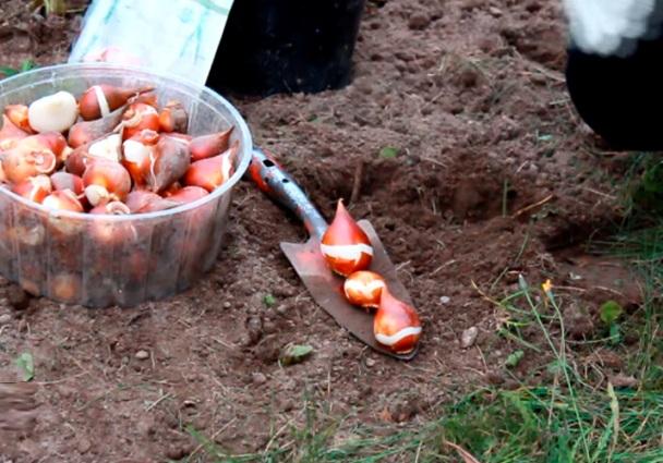 Когда сажать тюльпаны в открытый грунт