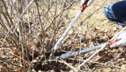 Как обрезать крыжовник осенью, чтобы был хороший урожай