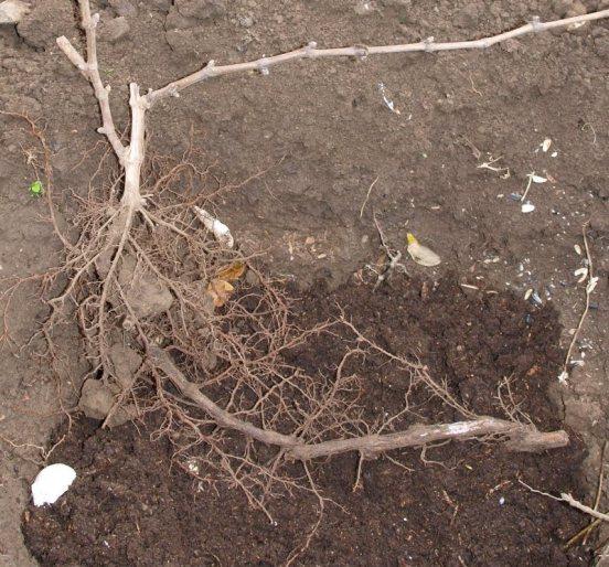 Когда лучше пересадить куст винограда - весной или осенью?